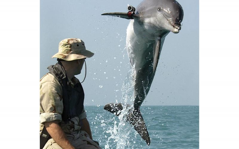 A U.S. Navy Marine Mammal Program dolphin named KDog wears a locating pinger while performing mine clearance work in the Persian Gulf during the Iraq War. The SSC Pacific team runs the program.