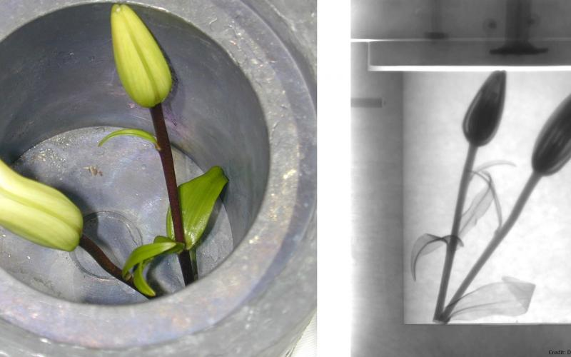 An example of neutron imaging: On the left, lilies photographed through an open cask. On the right, a neutron imaging system used to photograph the lilies through the lead walls of the cask. This image demonstrates the power of neutrons to easily pass through otherwise impenetrable materials.